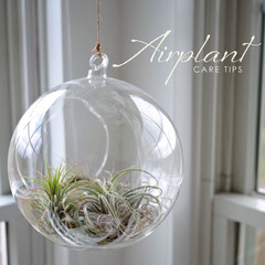 Airplant Nature