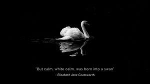 Black and White Swan Desktop Wallpaper  Wallpaper