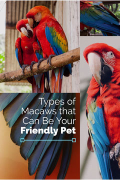 Macaw Parrot as Pets Pinterest Graphic with Collage of Parrots Pets