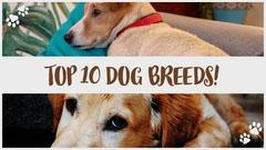 Dog Breeds Youtube thumbnail Animal