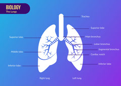 Blue Gradient Biology The Lungs Flashcard - Card Science