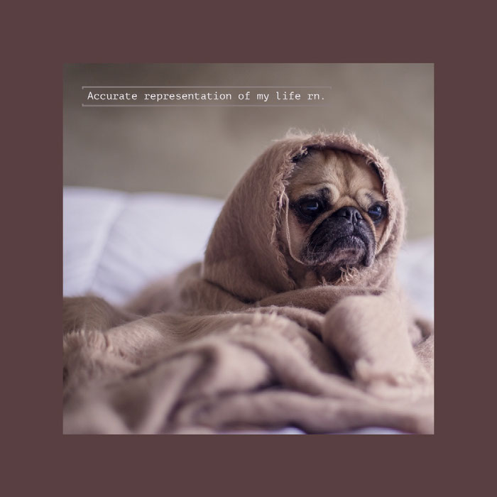 Cozy Animal Instagram Square Meme with Pug Wrapped in Blanket Dog Memes