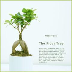 The Ficus Tree Trees